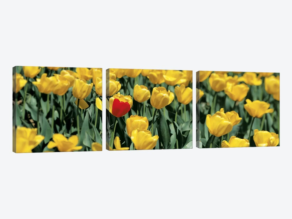 Yellow tulips in a field by Panoramic Images 3-piece Canvas Artwork