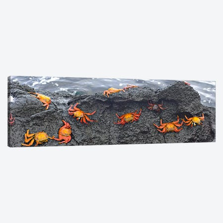 High angle view of Sally Lightfoot crabs (Grapsus grapsus) on a rockGalapagos Islands, Ecuador Canvas Print #PIM6627} by Panoramic Images Art Print