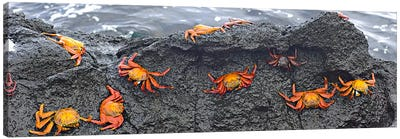 High angle view of Sally Lightfoot crabs (Grapsus grapsus) on a rockGalapagos Islands, Ecuador Canvas Art Print