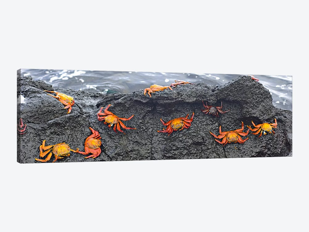 High angle view of Sally Lightfoot crabs (Grapsus grapsus) on a rockGalapagos Islands, Ecuador 1-piece Canvas Print