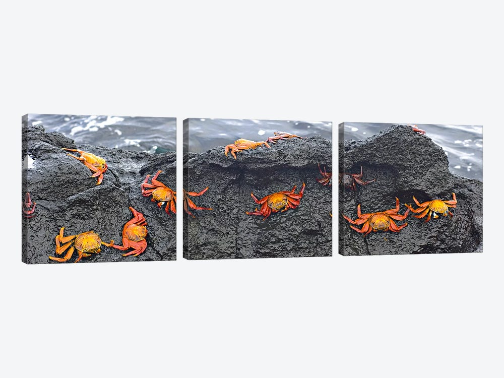 High angle view of Sally Lightfoot crabs (Grapsus grapsus) on a rockGalapagos Islands, Ecuador 3-piece Canvas Print