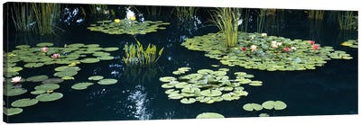 Water lilies in a pond, Denver Botanic Gardens, Denver, Colorado, USA Canvas Art Print