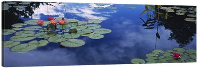 Water lilies in a pond, Denver Botanic Gardens, Denver, Denver County, Colorado, USA Canvas Art Print