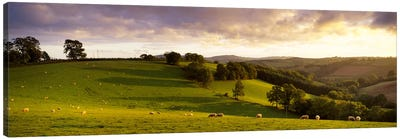 High angle view of sheep grazing in a fieldBickleigh, Mid Devon, Devon, England Canvas Print #PIM6663