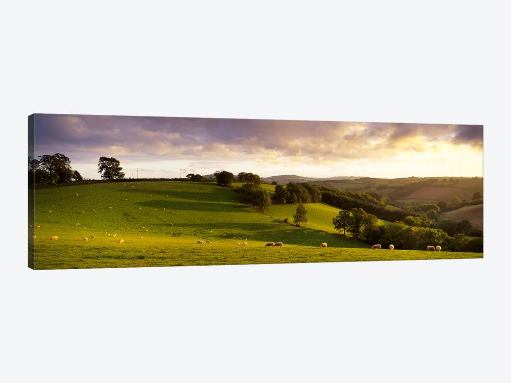 High angle view of sheep grazing in a fieldBickleigh, Mid Devon, Devon, England by Panoramic Images 1-piece Canvas Print