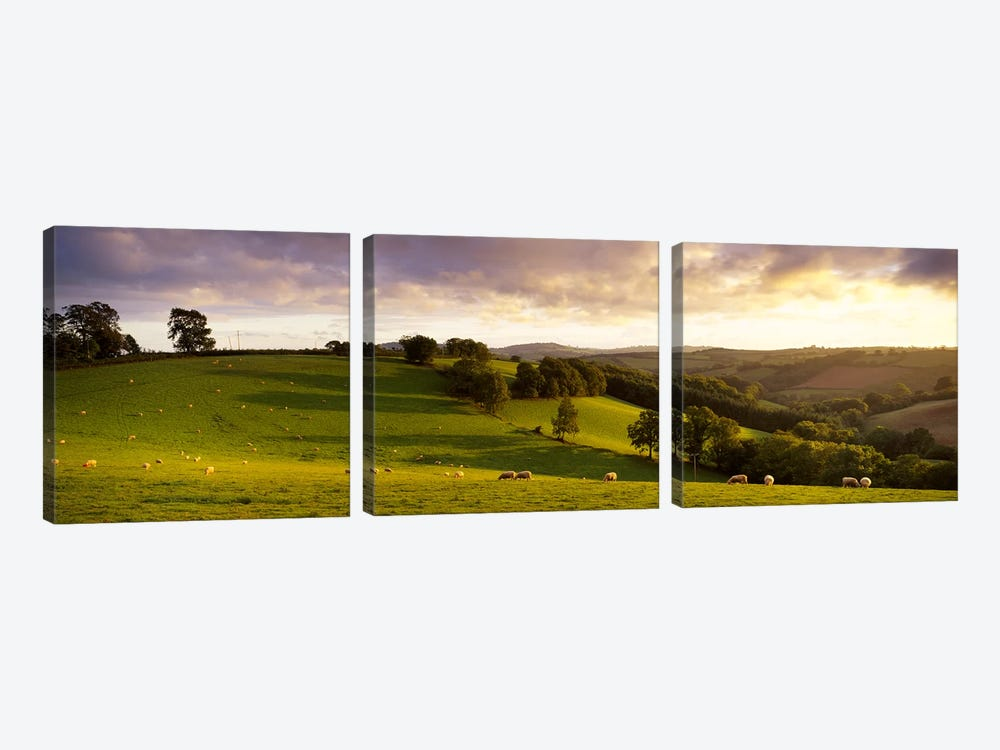 High angle view of sheep grazing in a fieldBickleigh, Mid Devon, Devon, England 3-piece Canvas Print