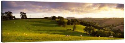 High angle view of sheep grazing in a fieldBickleigh, Mid Devon, Devon, England Canvas Art Print