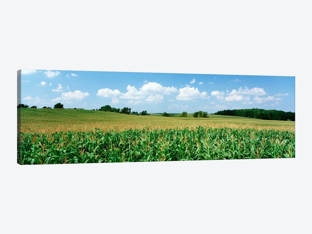 Corn Crop In A Field, Wyoming County, New York, USA by Panoramic Images 1-piece Canvas Wall Art