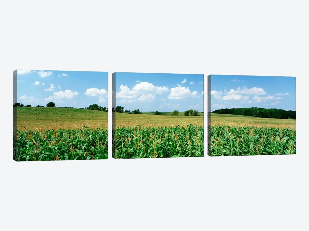 Corn Crop In A Field, Wyoming County, New York, USA by Panoramic Images 3-piece Canvas Wall Art