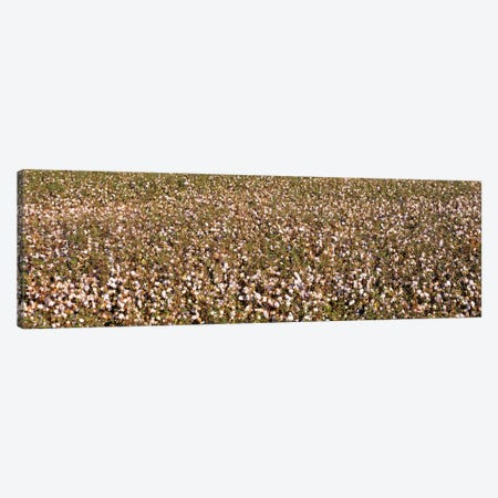 High angle view of a cotton fieldFresno, San Joaquin Valley, California, USA Canvas Print #PIM672} by Panoramic Images Canvas Art Print