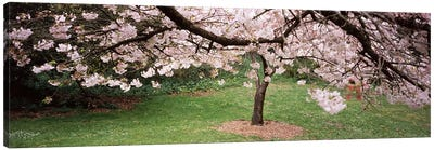 Cherry Blossom tree in a park, Golden Gate Park, San Francisco, California, USA Canvas Art Print