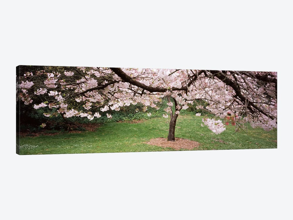 Cherry Blossom tree in a park, Golden Gate Park, San Francisco, California, USA by Panoramic Images 1-piece Canvas Print