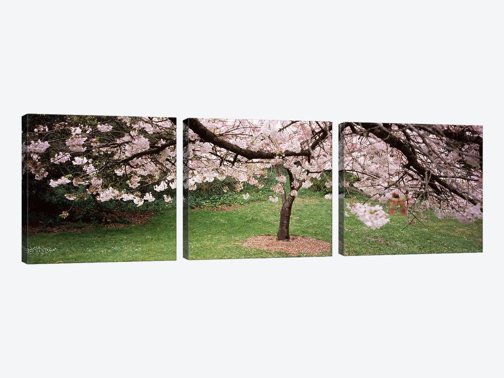 Cherry Blossom tree in a park, Golden Gate Park, San Francisco, California, USA by Panoramic Images 3-piece Canvas Print