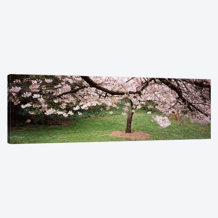 Cherry Blossom tree in a park, Golden Gate Park, San Francisco, California, USA Canvas Print #PIM7003} by Panoramic Images Art Print