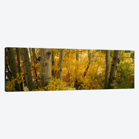 Aspen trees in a forest, Californian Sierra Nevada, California, USA Canvas Print #PIM7013} by Panoramic Images Canvas Artwork
