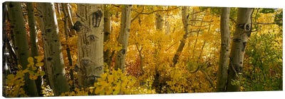Aspen trees in a forest, Californian Sierra Nevada, California, USA Canvas Print #PIM7013