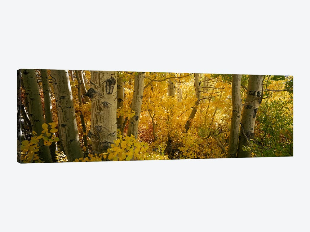 Aspen trees in a forest, Californian Sierra Nevada, California, USA by Panoramic Images 1-piece Canvas Wall Art