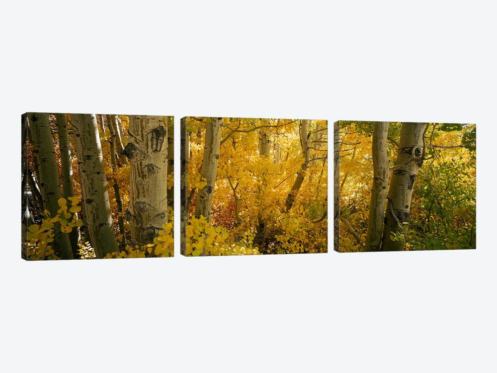 Aspen trees in a forest, Californian Sierra Nevada, California, USA by Panoramic Images 3-piece Canvas Art