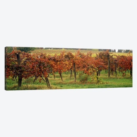 Close-Up Of A Vineyard Landscape, Emilia-Romagna, Italy Canvas Print #PIM7076} by Panoramic Images Canvas Print