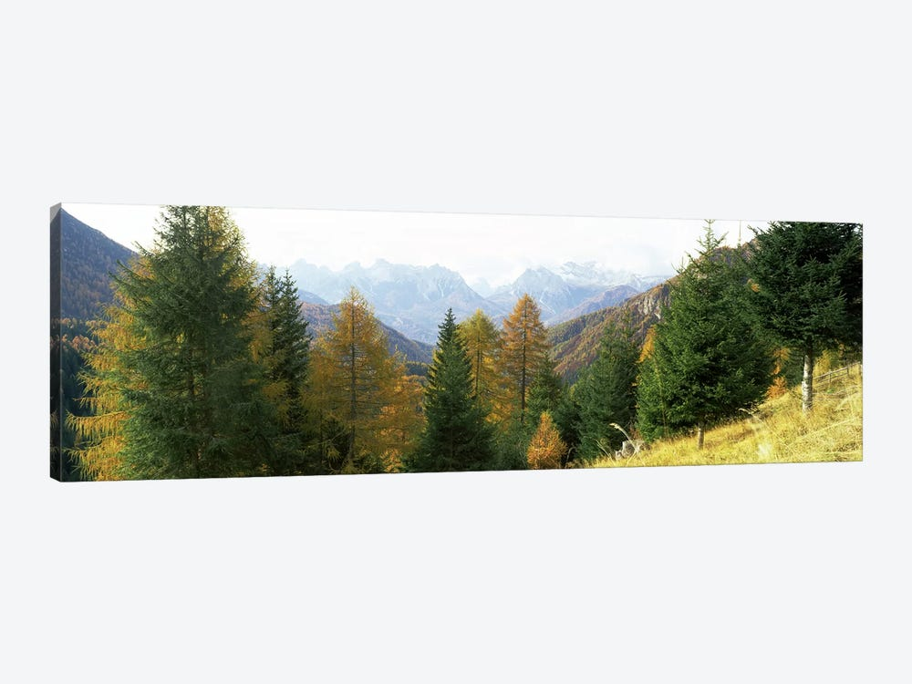 Larch trees with a mountain range in the background, Dolomites, Cadore, Province of Belluno, Veneto, Italy by Panoramic Images 1-piece Art Print