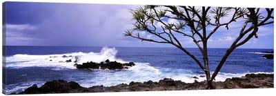 Tree on the coast, Honolulu Nui Bay, Nahiku, Maui, Hawaii, USA Canvas Art Print