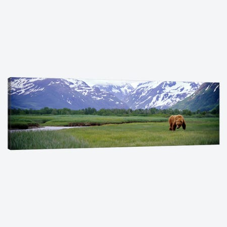 Grizzly bear (Ursus arctos horribilis) grazing in a field, Kukak Bay, Katmai National Park, Alaska, USA Canvas Print #PIM7108} by Panoramic Images Canvas Artwork