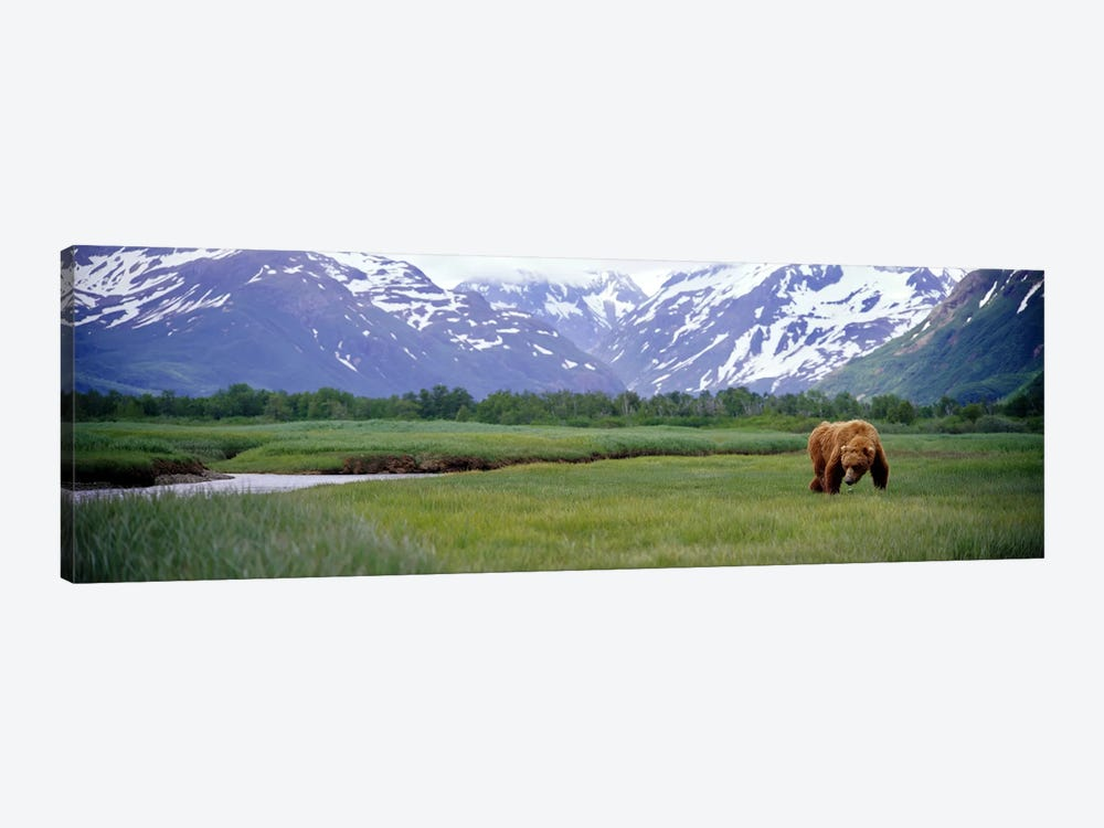 Grizzly bear (Ursus arctos horribilis) grazing in a field, Kukak Bay, Katmai National Park, Alaska, USA by Panoramic Images 1-piece Art Print