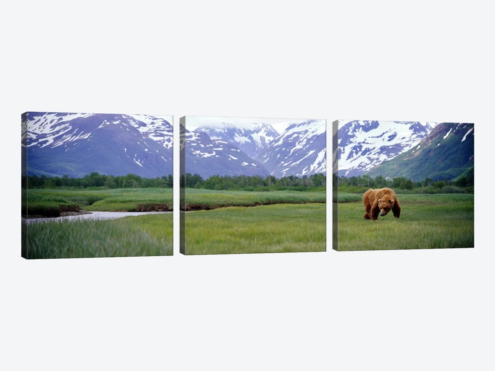 Grizzly bear (Ursus arctos horribilis) grazing in a field, Kukak Bay, Katmai National Park, Alaska, USA by Panoramic Images 3-piece Canvas Art Print