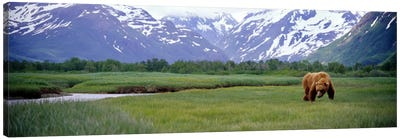 Grizzly bear (Ursus arctos horribilis) grazing in a field, Kukak Bay, Katmai National Park, Alaska, USA Canvas Art Print