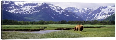 Grizzly bear (Ursus arctos horribilis) grazing in a field, Kukak Bay, Katmai National Park, Alaska, USA #2 Canvas Art Print
