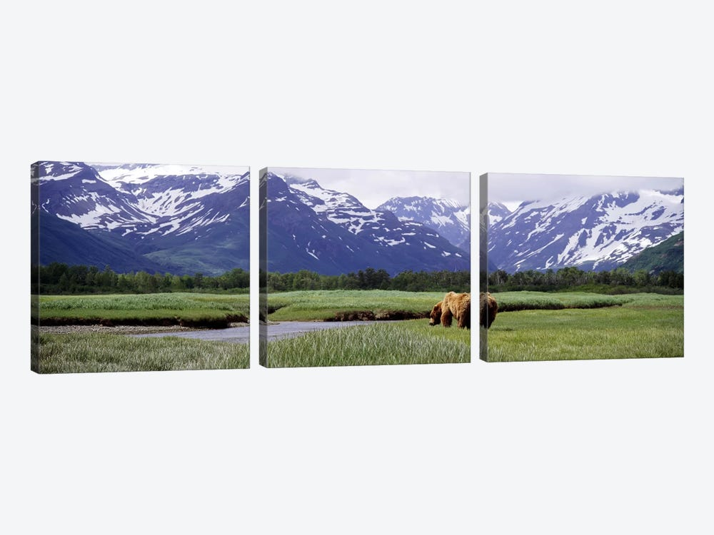 Grizzly bear (Ursus arctos horribilis) grazing in a field, Kukak Bay, Katmai National Park, Alaska, USA #2 by Panoramic Images 3-piece Canvas Artwork