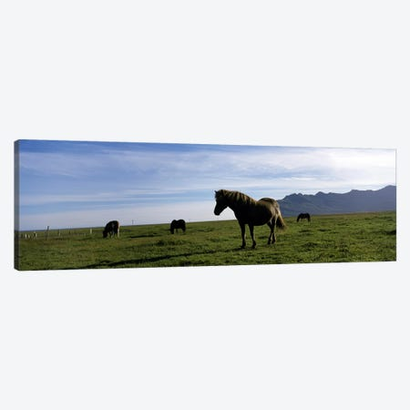 Icelandic horses in a field, Svinafell, Iceland Canvas Print #PIM7156} by Panoramic Images Canvas Artwork