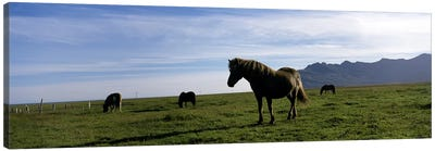 Icelandic horses in a field, Svinafell, Iceland Canvas Print #PIM7156