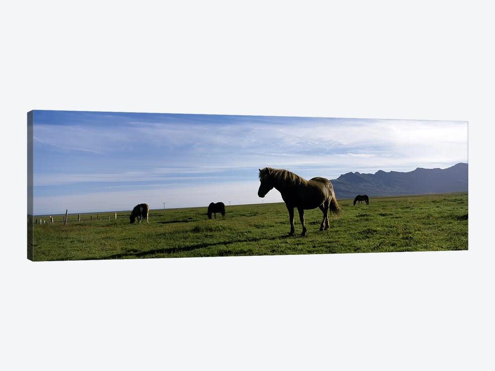 Icelandic horses in a field, Svinafell, Iceland 1-piece Canvas Art