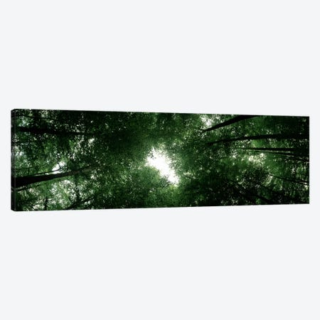 Low angle view of beech trees, Baden-Wurttemberg, Germany Canvas Print #PIM7176} by Panoramic Images Canvas Wall Art