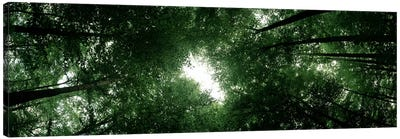 Low angle view of beech trees, Baden-Wurttemberg, Germany Canvas Art Print