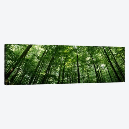 Low angle view of beech trees, Baden-Wurttemberg, Germany #2 Canvas Print #PIM7177} by Panoramic Images Canvas Artwork