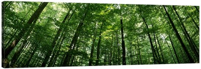 Low angle view of beech trees, Baden-Wurttemberg, Germany #2 Canvas Art Print