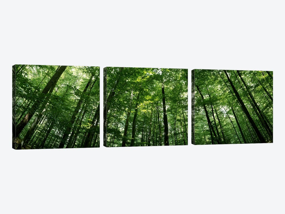 Low angle view of beech trees, Baden-Wurttemberg, Germany #2 by Panoramic Images 3-piece Canvas Art Print