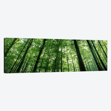 Low angle view of beech trees, Baden-Wurttemberg, Germany #3 Canvas Print #PIM7178} by Panoramic Images Canvas Art Print