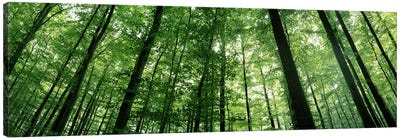 Low angle view of beech trees, Baden-Wurttemberg, Germany #3 Canvas Art Print