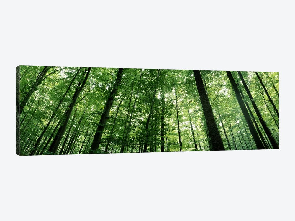 Low angle view of beech trees, Baden-Wurttemberg, Germany #3 by Panoramic Images 1-piece Canvas Wall Art