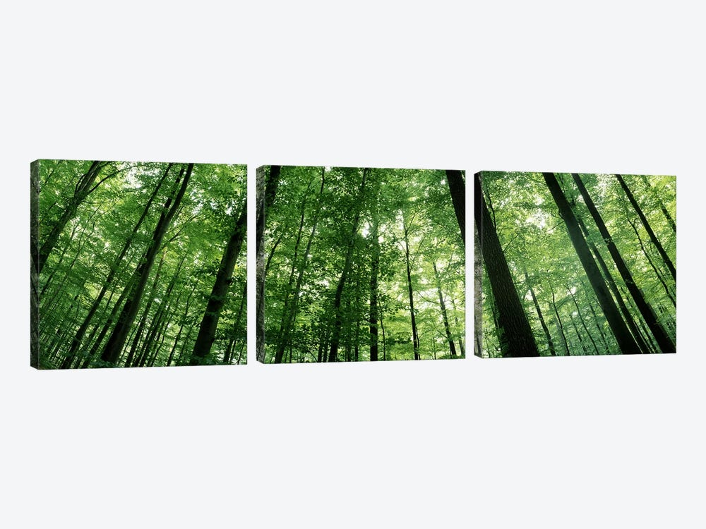 Low angle view of beech trees, Baden-Wurttemberg, Germany #3 by Panoramic Images 3-piece Canvas Wall Art