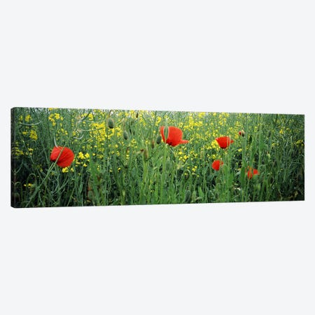 Poppies blooming in oilseed rape (Brassica napus) field, Baden-Wurttemberg, Germany Canvas Print #PIM7179} by Panoramic Images Canvas Print