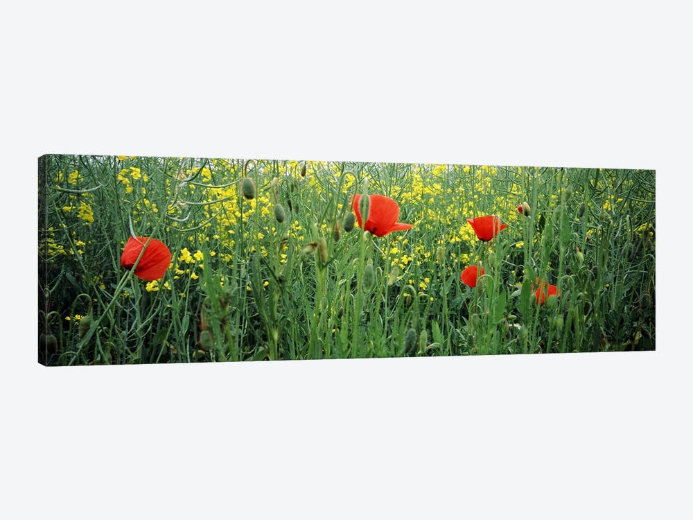 Poppies blooming in oilseed rape (Brassica napus) field, Baden-Wurttemberg, Germany by Panoramic Images 1-piece Art Print