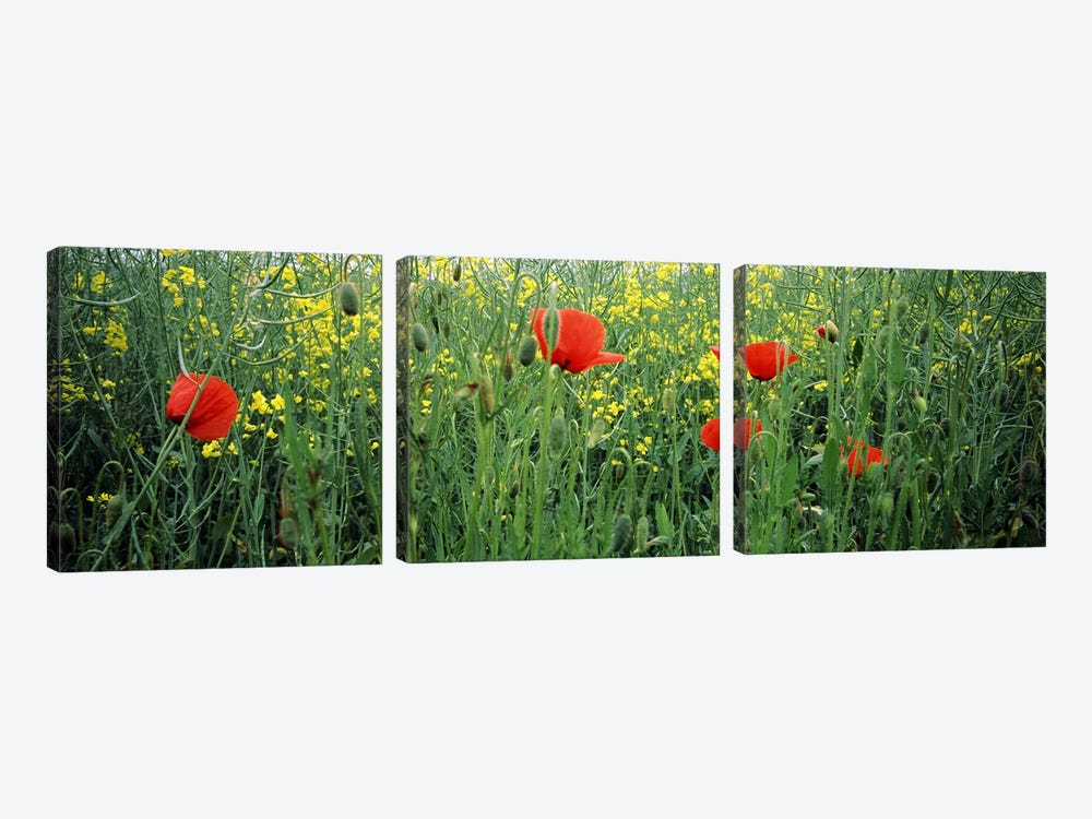 Poppies blooming in oilseed rape (Brassica napus) field, Baden-Wurttemberg, Germany by Panoramic Images 3-piece Canvas Art Print