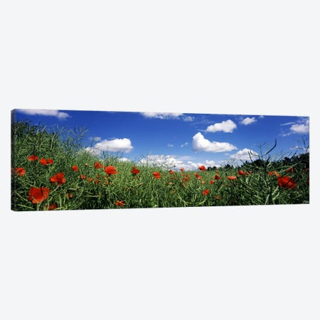 Red poppies blooming in a field, Baden-Wurttemberg, Germany Canvas Print #PIM7180} by Panoramic Images Canvas Artwork