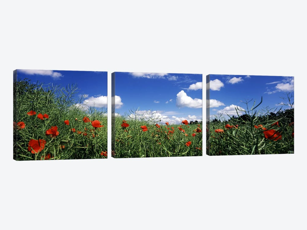 Red poppies blooming in a field, Baden-Wurttemberg, Germany by Panoramic Images 3-piece Canvas Print