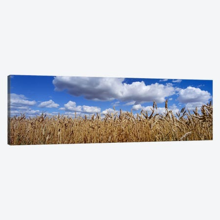 Fluffy Clouds Over A Wheat Crop, Alberta, Canada Canvas Print #PIM7207} by Panoramic Images Canvas Artwork