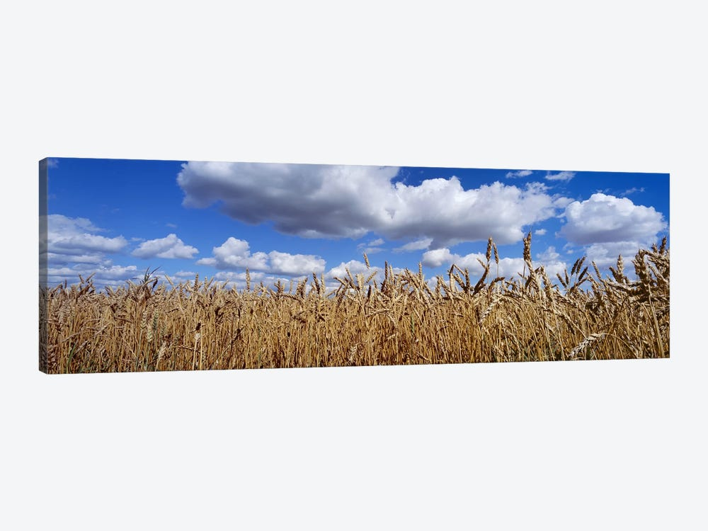 Fluffy Clouds Over A Wheat Crop, Alberta, Canada by Panoramic Images 1-piece Canvas Wall Art